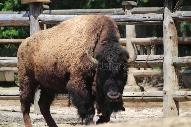 Bison bison, the American Bison. The American bison or simply bison, also commonly known as the American buffalo or simply buffalo, is a North American species royalty free stock photography