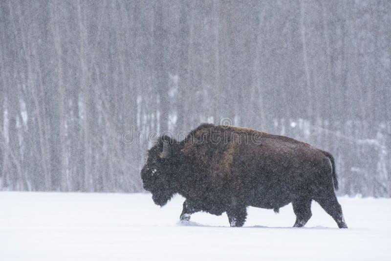 Bison bison bison in a blizzard, Elk Island National Park, Canada stock photos