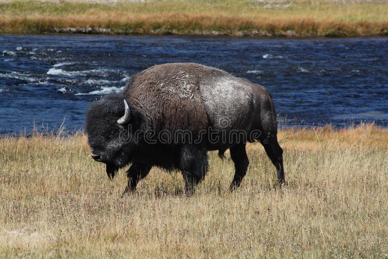 The Bison, Bison bison. Mammal in the Yellowstone Nat. Park. In the Yellowstone National Park, the Bison. Also known as Buffalo royalty free stock images