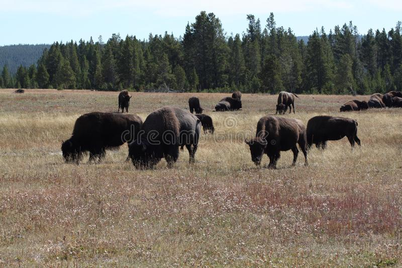 The Bison, Bison bison. Mammal in the Yellowstone Nat. Park. In the Yellowstone National Park, the Bison. Also known as Buffalo royalty free stock photography