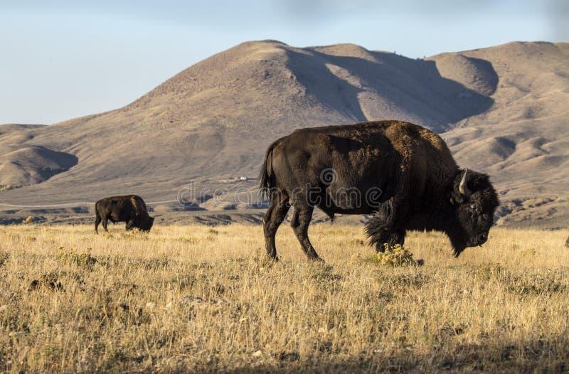 Bison bufala fotografie stock libere da diritti