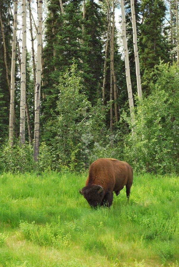 Download Bison (Buffalo) stock image. Image of hunt, bison, arctic - 15247271