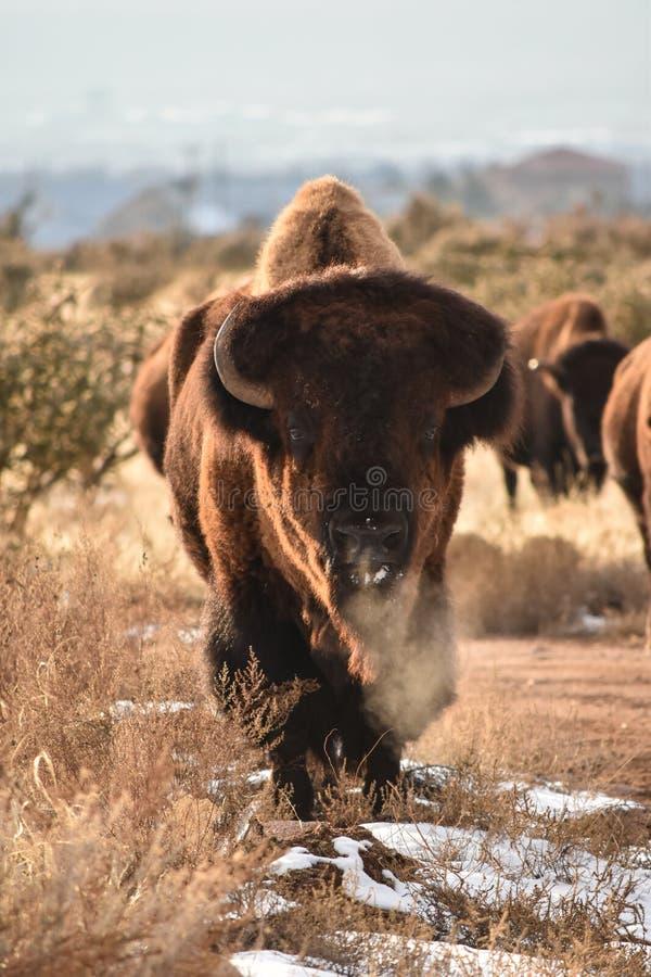 Bison Buffalo Bull photographie stock libre de droits
