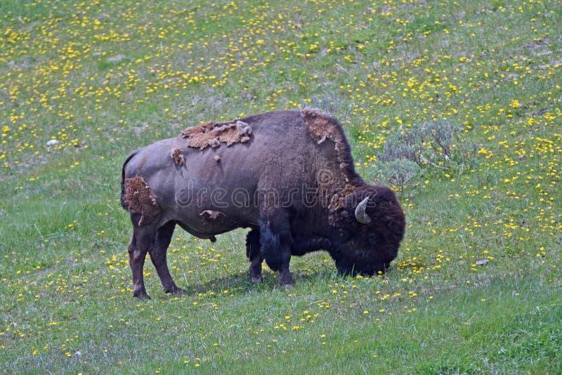 Bison Buffalo Bull che pasce vicino al villaggio del canyon nel parco nazionale di Yellowstone nel Wyoming immagini stock
