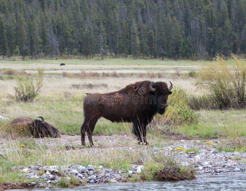 Bison Buffalo Bull, der nahe bei Kiesel-Nebenfluss in Lamar Valley in Yellowstone Nationalpark in Wyoming steht lizenzfreies stockbild
