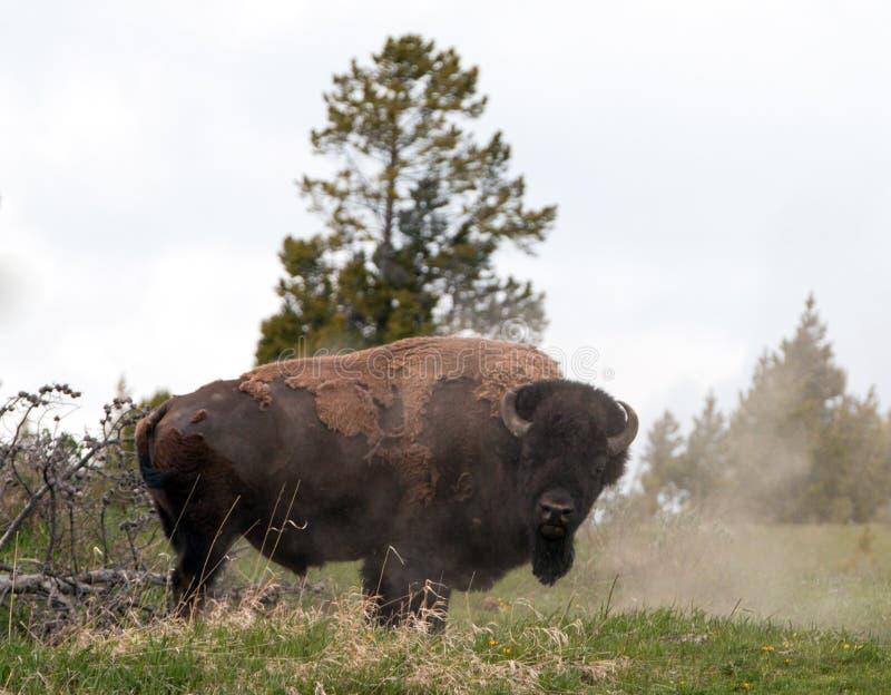 Bison Buffalo Bull, der weg in Hayden Valley nahe Schlucht-Dorf in Yellowstone Nationalpark in Wyoming USA abwischt lizenzfreie stockbilder