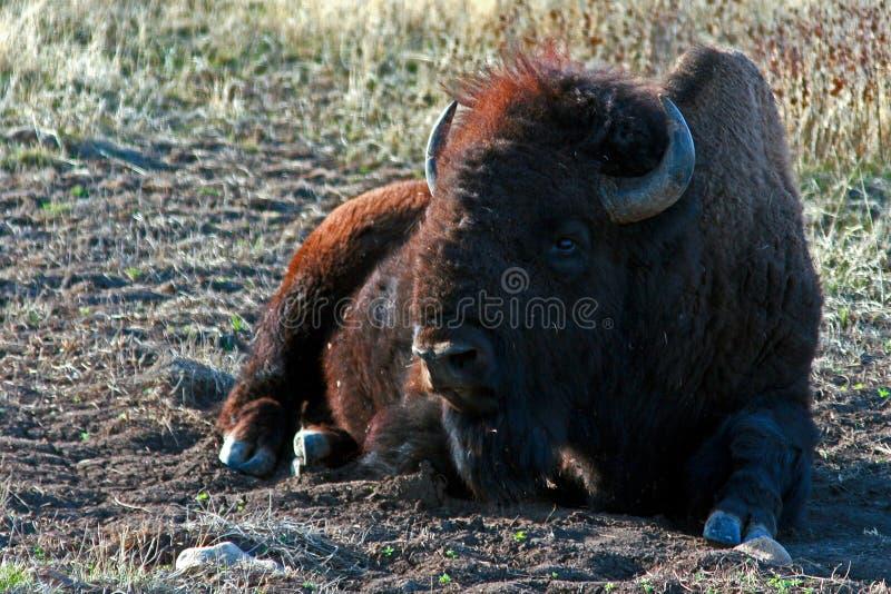 Bison Buffalo Bull die in Custer State Park rusten stock afbeeldingen