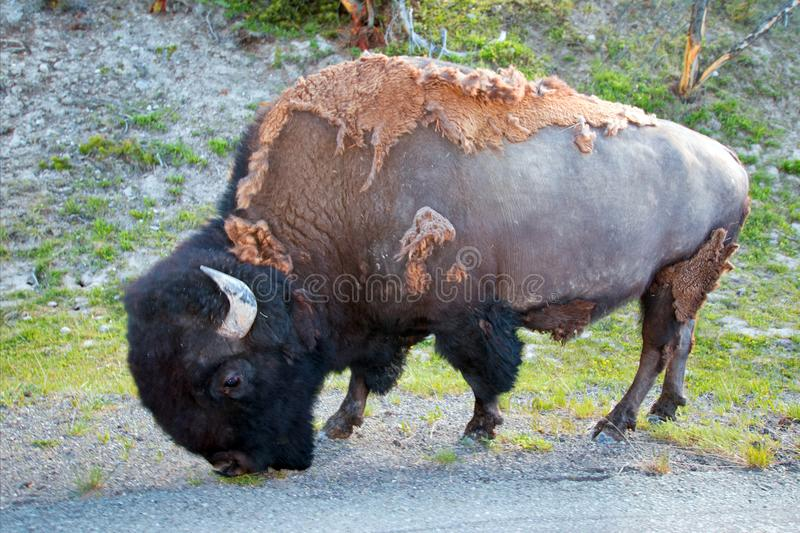 Bison Buffalo Bull grazing in the Hayden Valley near to Canyon Village in Yellowstone National Park in Wyoming USA. Bison Buffalo Bull grazing in the Hayden royalty free stock images