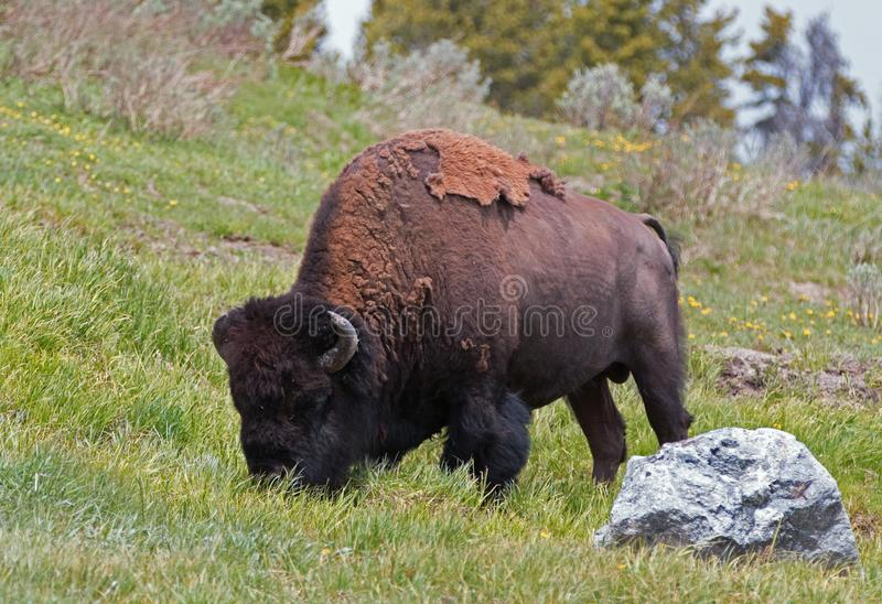 Bison Buffalo Bull grazing in the Hayden Valley near to Canyon Village in Yellowstone National Park in Wyoming USA. Bison Buffalo Bull grazing in the Hayden royalty free stock photos