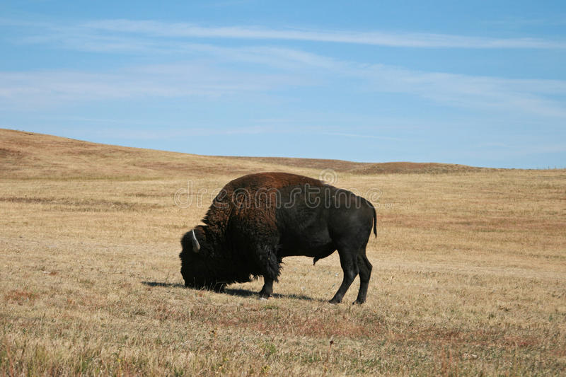 Bison Buffalo Bull i Custer State Park i Blacket Hills av South Dakota USA fotografering för bildbyråer