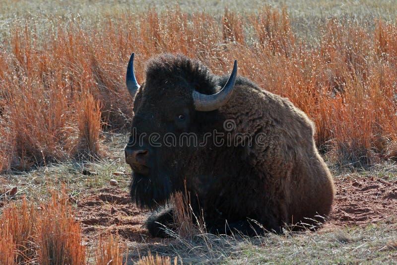 Bison Buffalo Bull-stof die in Custer State Park rollen stock afbeeldingen