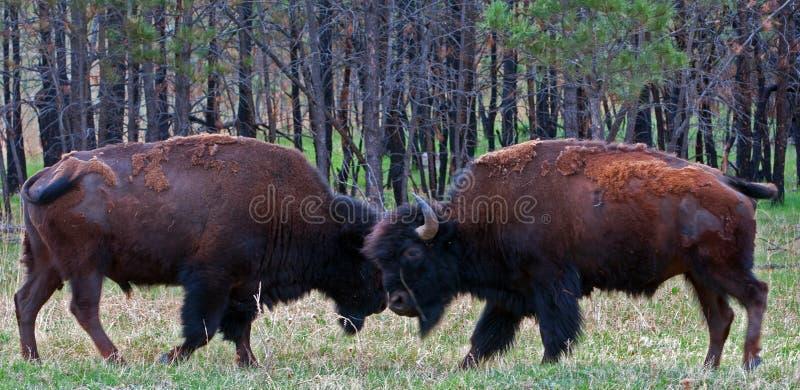 Bison Buffalo Bulls Sparring joven en parque nacional de la cueva del viento fotos de archivo libres de regalías