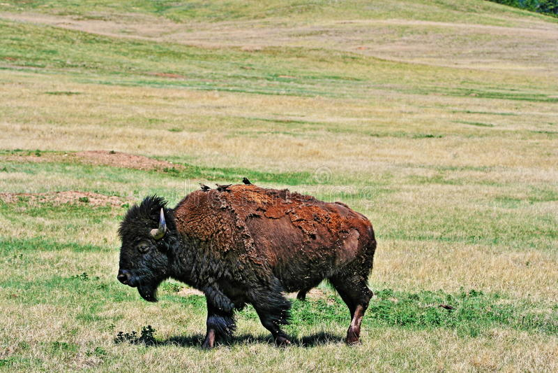 Bison Buffalo con gli uccelli nel parco nazionale della caverna del vento immagine stock