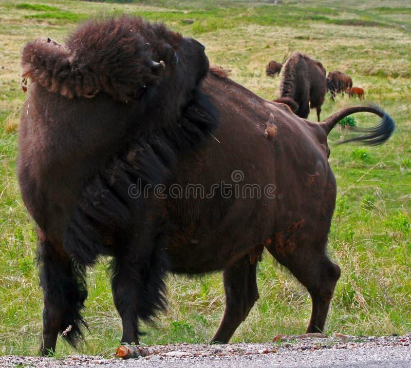 Bison Buffalo Cow-het krassen terug in Custer State Park stock afbeelding