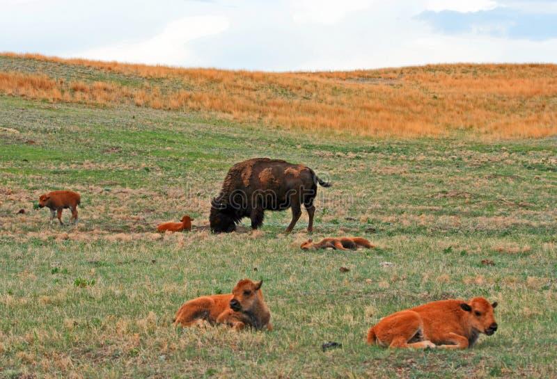 Bison Buffalo Cow met babyholen in Custer State Park royalty-vrije stock foto