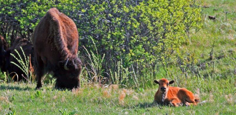 Bison Buffalo Cow met Kalf in Custer State Park royalty-vrije stock afbeeldingen