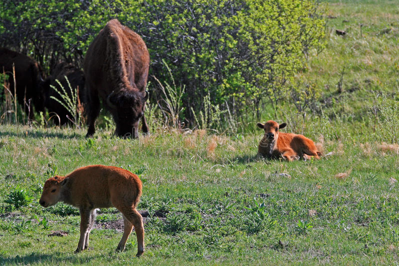 Bison Buffalo Cow met Kalveren in Custer State Park stock afbeelding