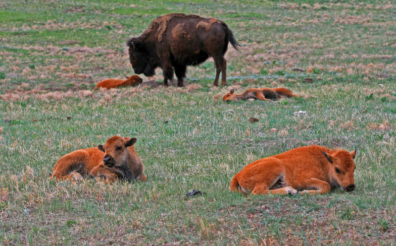 Bison Buffalo Cow met Kalveren in Custer State Park royalty-vrije stock fotografie