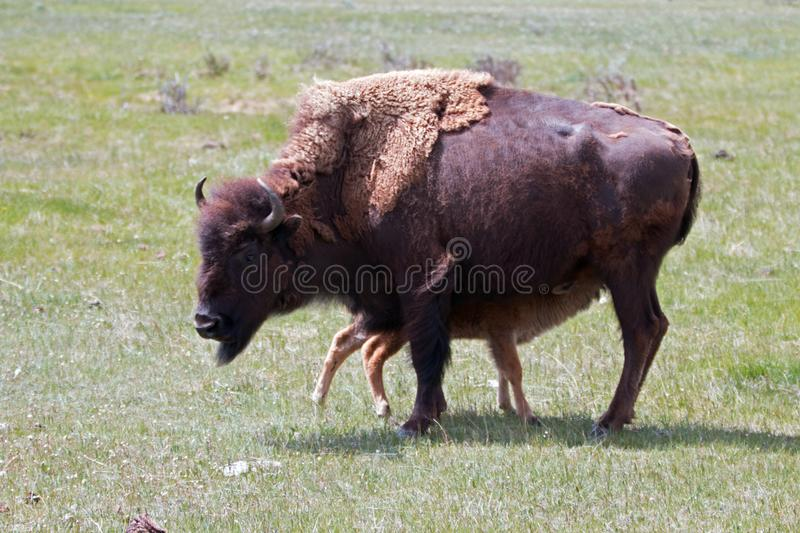 Bison Buffalo cow mother with nursing baby calf in the Lamar Valley of Yellowstone National Park in Wyoming USA stock photography