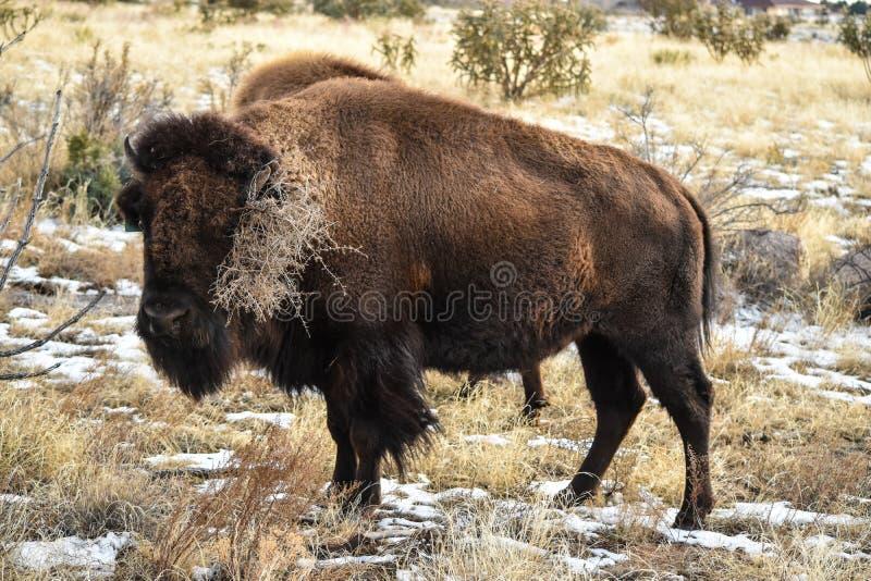 Bison Buffalo Cow Tumbleweed image stock
