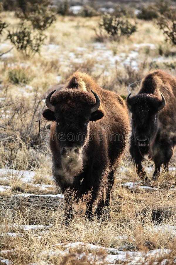 Bison Buffalo Cows stock fotografie