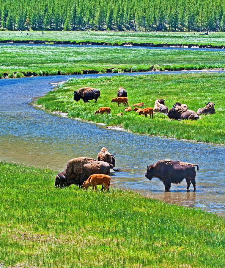Bison Buffalo Cows crossing river with baby calf in Yellowstone National Park in Wyoming USA. American Bison Buffalo Cows crossing river with baby calf in royalty free stock photos