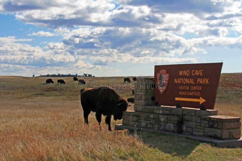 Bison Buffalo, der Kopf auf dem Wind-Höhlen-Nationalpark verkratzt, unterzeichnen herein das Black Hills von South Dakota USA lizenzfreies stockbild