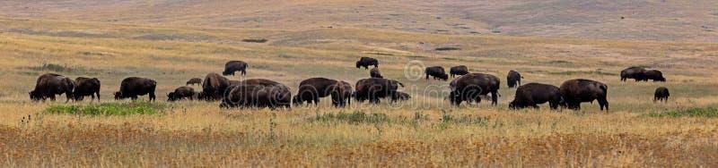 Download Bison & X28; Buffalo& X29; Flock Fotografering för Bildbyråer - Bild av beta, montana: 76701257