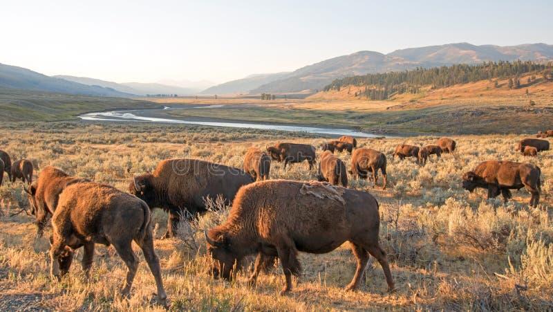 Bison Buffalo flock i ottaljus i Lamar Valley av den Yellowstone nationalparken i Wyoiming royaltyfria bilder