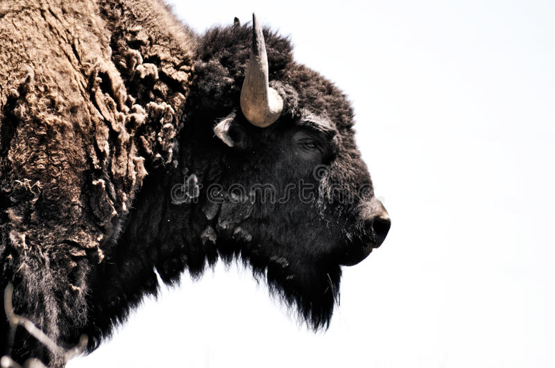 Bison Buffalo Head Profile royalty free stock images
