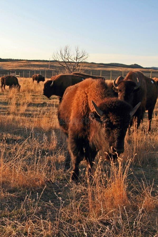 Bison Buffalo Herd in Custer State Park royalty-vrije stock foto