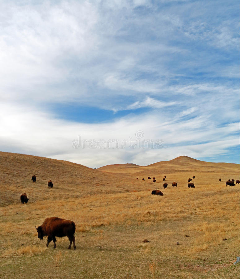 Bison Buffalo Herd in Custer State Park stock photos