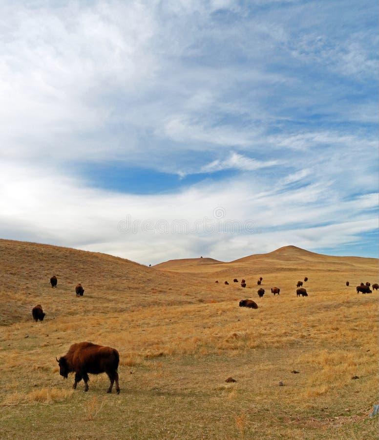 Bison Buffalo Herd i Custer State Park arkivfoton
