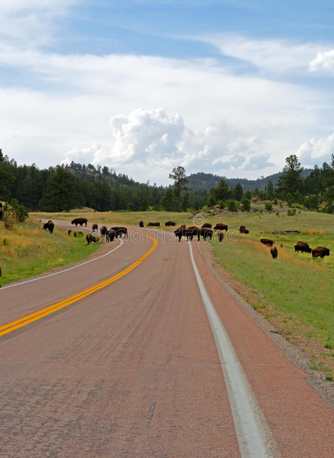 Bison Buffalo Herd-opstopping in Custer State Park royalty-vrije stock fotografie