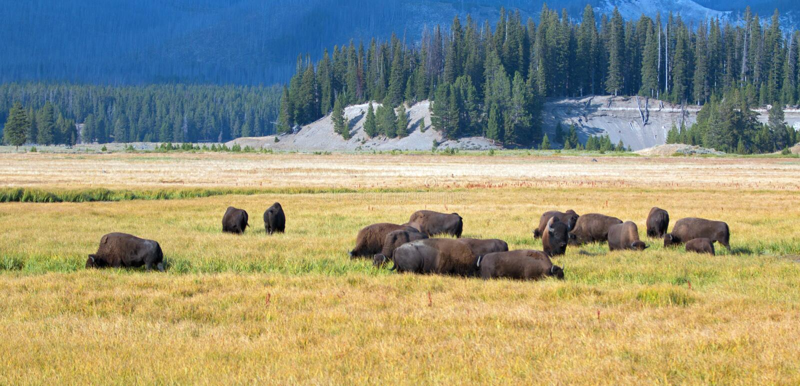 Bison Buffalo Herd in Pelican Creek grassland in Yellowstone National Park in Wyoming stock photos