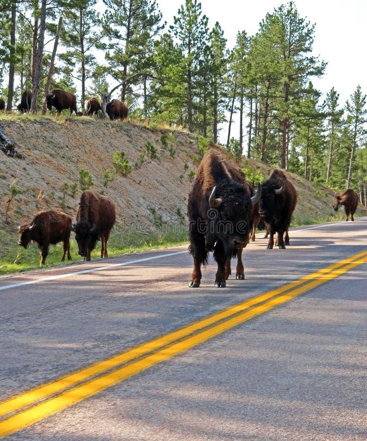 Bison Buffalo-kudde die de weg in Custer State Park blokkeren stock afbeeldingen