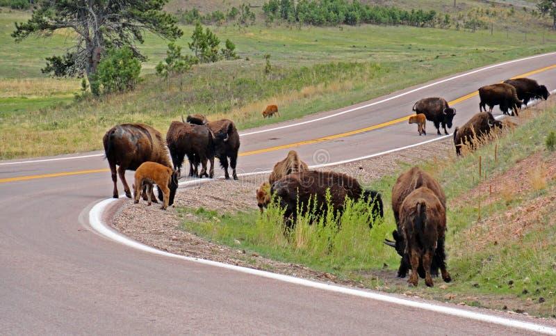 Bison Buffalo-kudde op de weg in Custer State Park royalty-vrije stock fotografie
