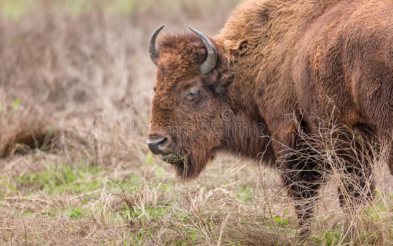 Bison Buffalo Portrait royalty free stock photo
