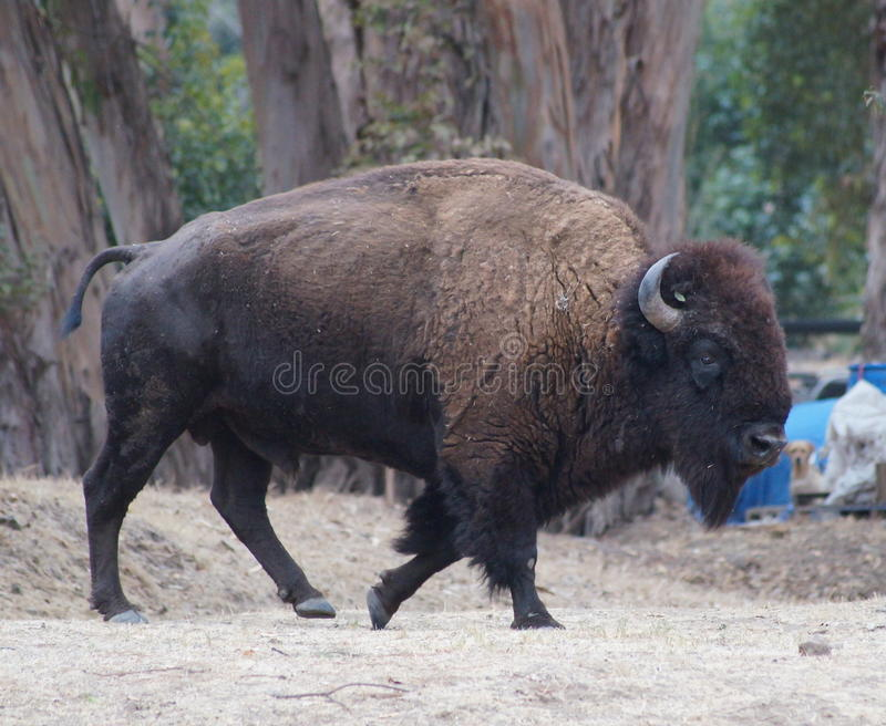 Bison Bull image stock