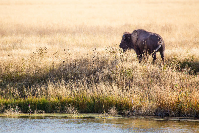Bison Bull stock foto