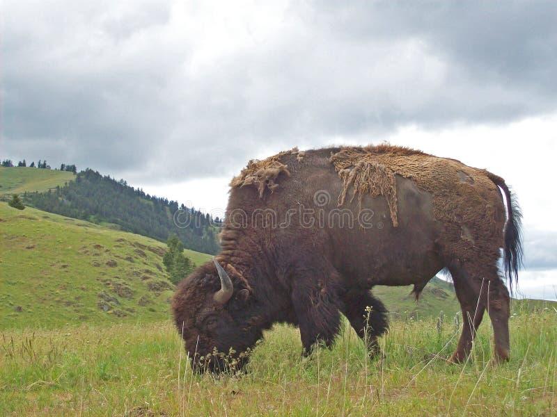 Bison Bull fotografia de stock royalty free