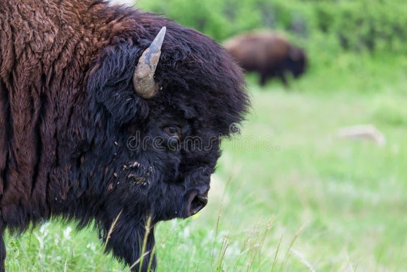 Bison Bull Profile royalty free stock photos