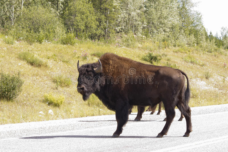 Bison bull stands on Alaska highway royalty free stock images