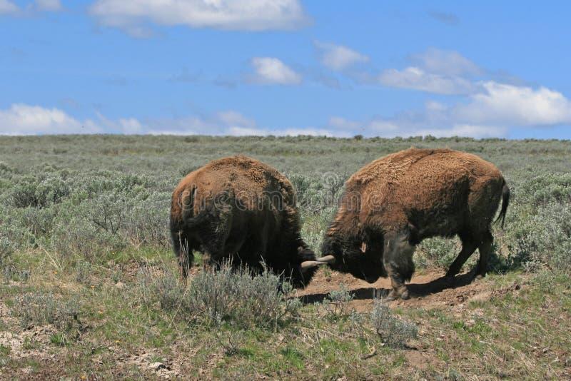 Bison Bulls que luta em Hayden Valley no parque nacional EUA de Yellowstone fotos de stock royalty free
