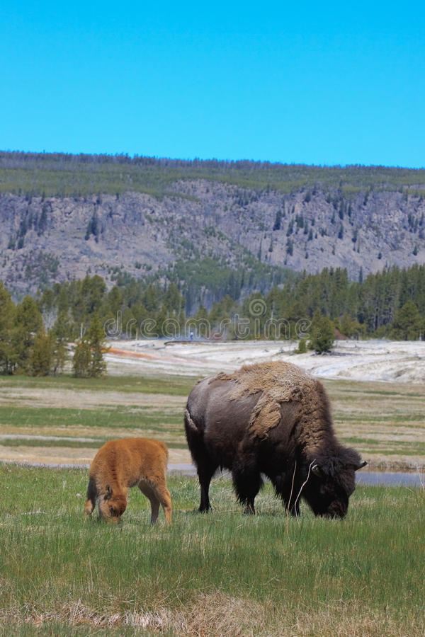 Download Bison with calf stock image. Image of green, huge, graze - 14983123