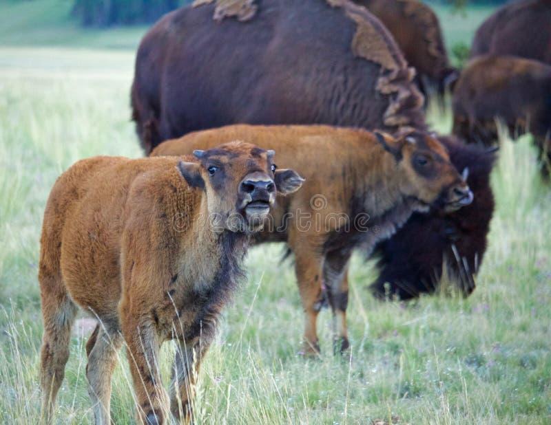 Bison Calf Calling med den vuxna bisonen fotografering för bildbyråer