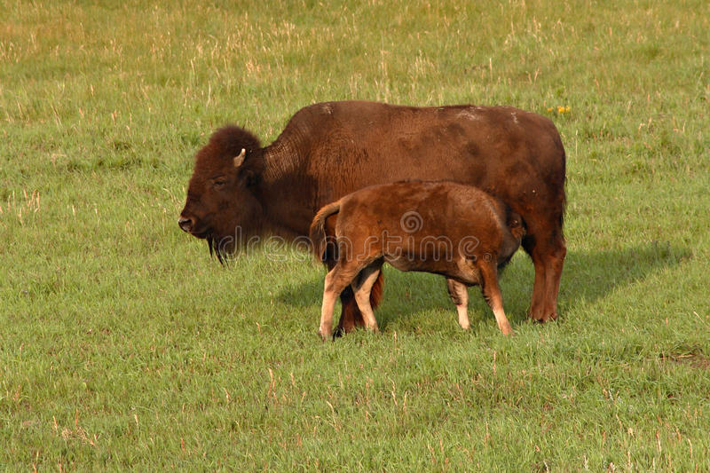 Bison Calf Nursing royalty-vrije stock foto