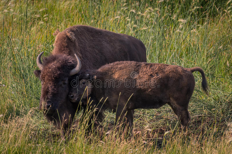 Bison Calf Nuzzles Against Mother fotografering för bildbyråer