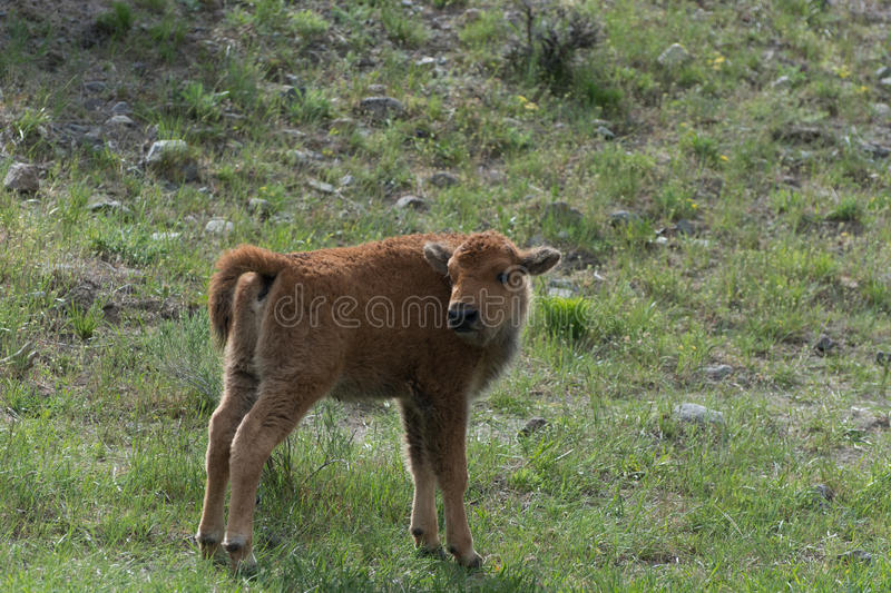 Bison Calf in Yellowstone National Park royalty free stock photo
