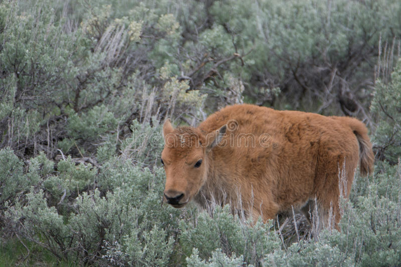 Bison Calf in Yellowstone National Park royalty free stock image